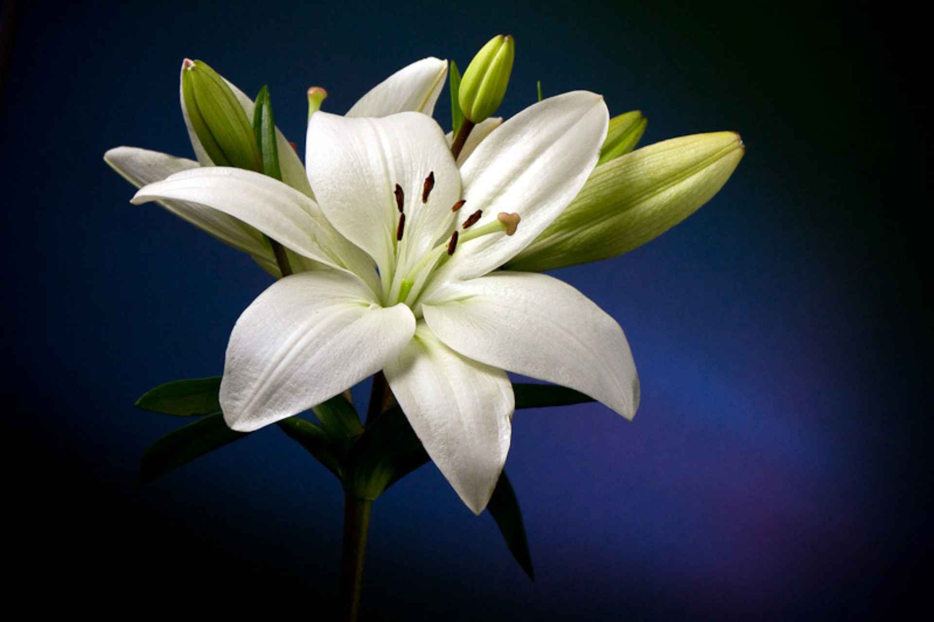 lily-white