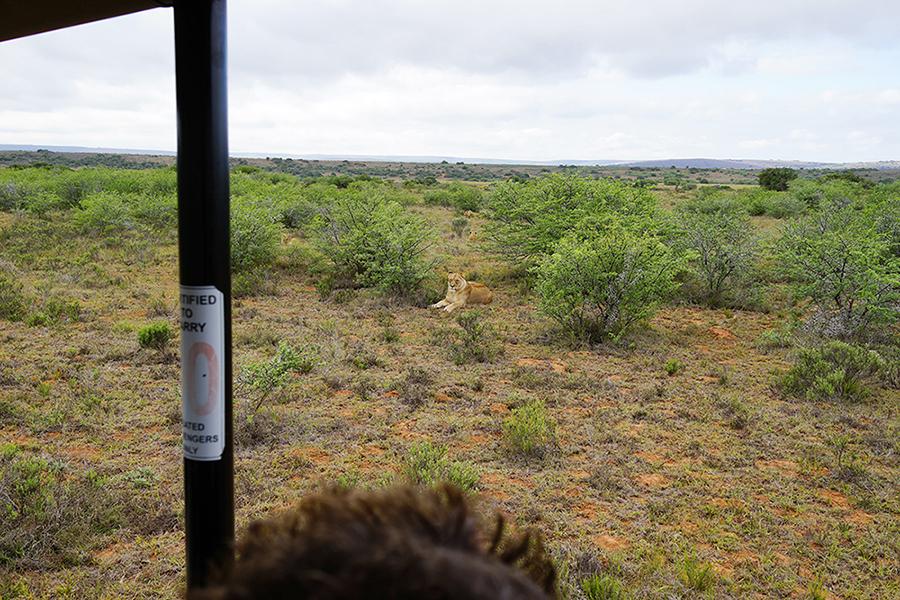 アフリカ サファリ ライオン