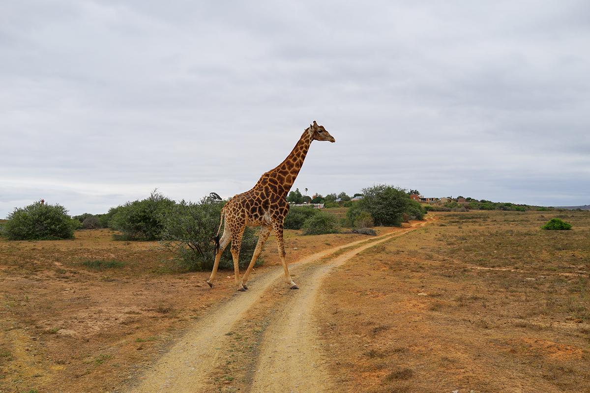 アフリカ サファリ キリン